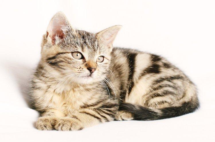 Kissa on mukava lemmikki, jonka leikkejä ja elämää on mukava seurata. Itsenäisyydestään huolimatta se kiintyy lujasti omistajaansa. Jos hankit kissan, varaudu huolehtimaan siitä 15 - 20 vuotta.