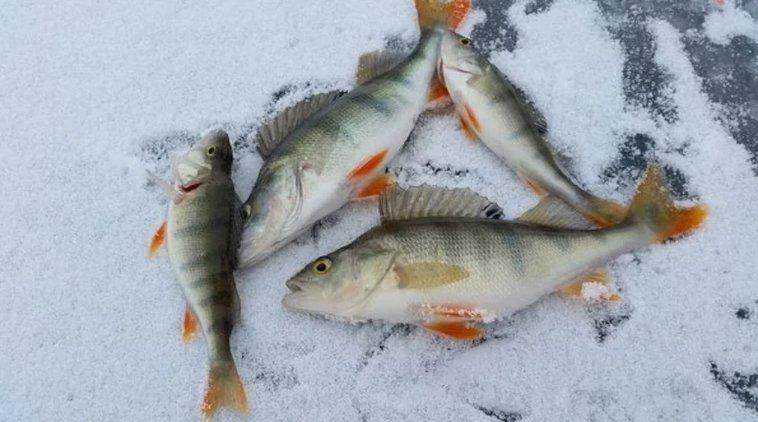 Saisko olla tuoretta ahventa? Pilkkiminen oikeanlaisella pilkillä mahdollistaa mukavan kalasaaliin.